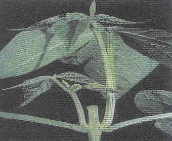 Gambar 3 Susunan sel titik tumbuh pada ujung akar