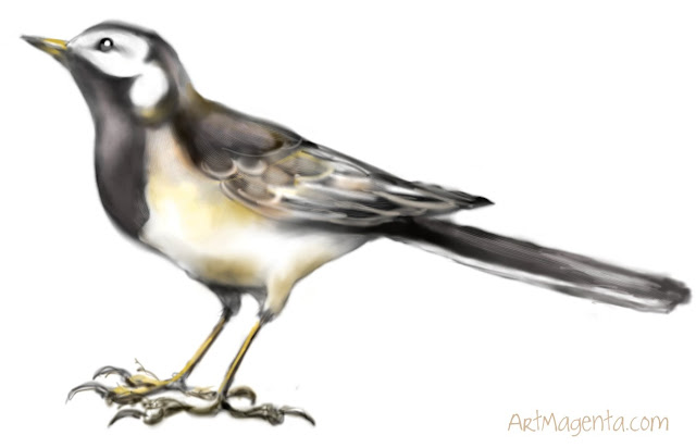 White wagtail sketch painting. Bird art drawing by illustrator Artmagenta