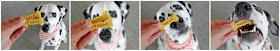 Dalmatian dog eating homemade Halloween dog treats