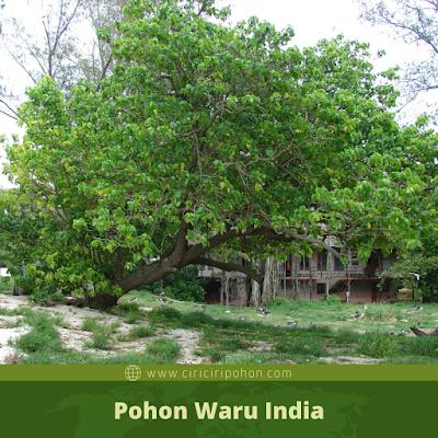 Ciri Ciri Pohon Waru India