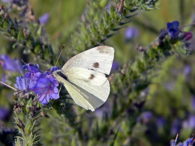 motyle, owady, kwiaty