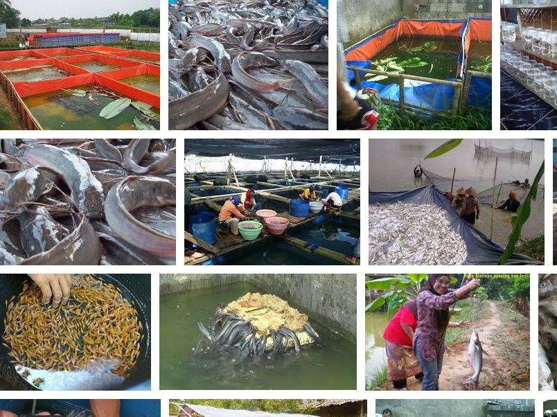 usaha ternak ikan lele