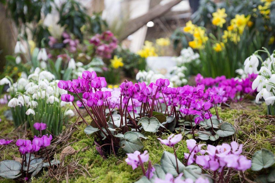 flores blancas de Galanthys y flores rosas de Cyclamen