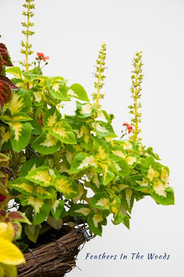 How to grow coleus indoors