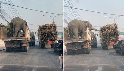 Saat gajah mencuri batang tebu di lampu merah