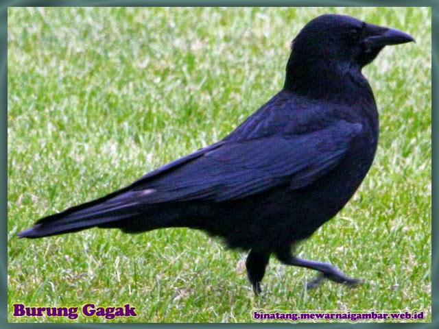 gambar burung gagak