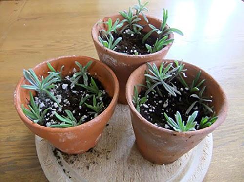 Bước 6 Cách trồng cây oải hương