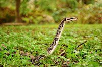 The python snakes attacked citizens of Umuchiso