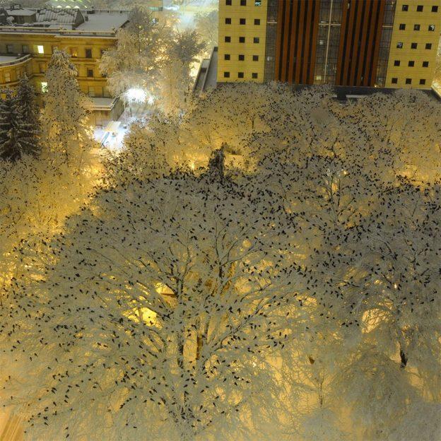 Тысячи птиц сфотографированы на верхушках заснеженных деревьев в центре Портленда, штат Орегон