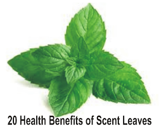 Scent leaves also have antifungal activity against Penicillium notatum, Candida albicans, Microsporeum gyseum. And the last, larvicides activity against houseflies and mosquitoes, and other insects.