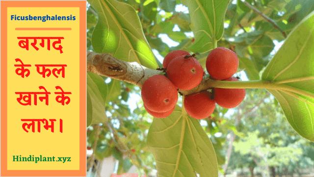 बरगद के फल खाने के लाभ।