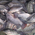 You Will Never Eat Farmed-Raised Tilapia Again After Knowing How Dangerous Is It