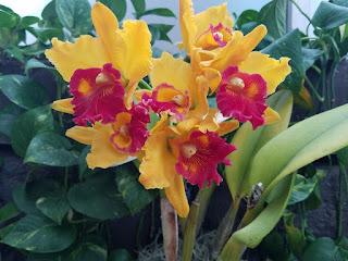 Yellow-red orchids, Kahala Hotel, Oahu, HI