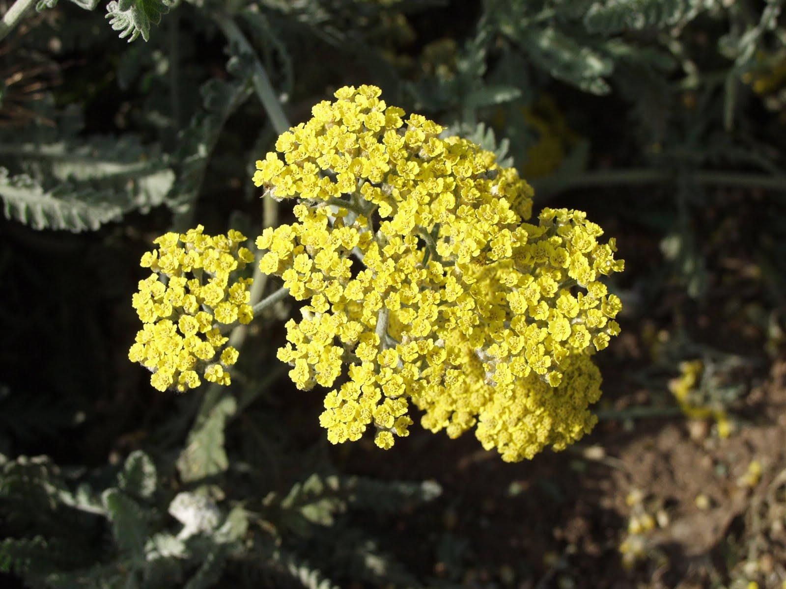 yarrow flower - photo #18
