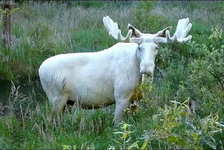 The Great White Stag