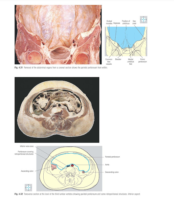 Removal of the abdominal organs from a coronal section shows the parietal peritoneum from within.