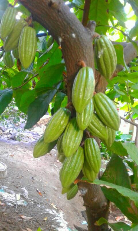 Buah kakao hasil aplikasi pupuk bunga buah organik