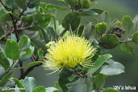 Yellow 'Ohi'a lehua - Lyon Arboretum, Manoa, Oahu