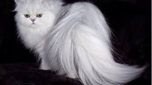 5 Fakta tentang Kucing Anggora A.K.A Turkish Angora. The Zhemwel