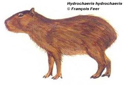 Carpincho Hydrochoerus hydrochaeris