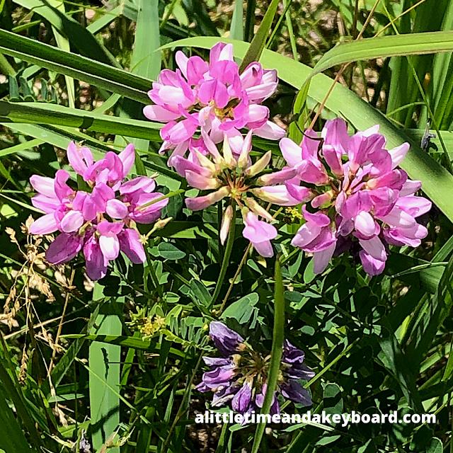 Brilliant crown vetch wildflowers.