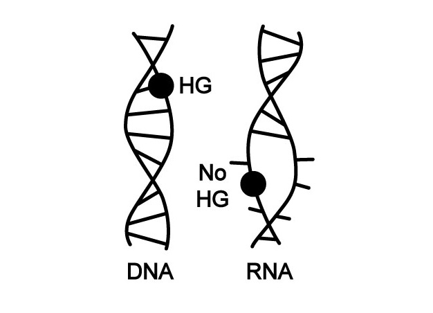 DNA's dynamic nature makes it well-suited to serve as the blueprint of life