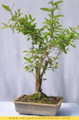 Bonsai Delima 22