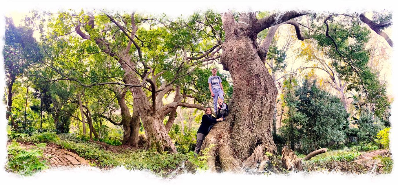 Cellars-Hohenort, Camphor Tree Grove, Champion Trees, Cape Town, Photo of camphor tree, Alex Aitkenhead, Constantia