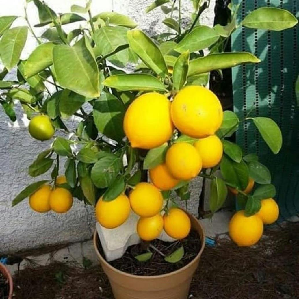 Bibit jeruk lemon BISA COD Lubuklinggau