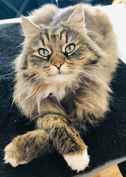 long-haired tabby cat with paws crossed