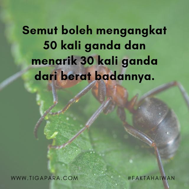 Semut boleh mengangkat 50 kali ganda dan menarik 30 kali ganda dari berat badannya.