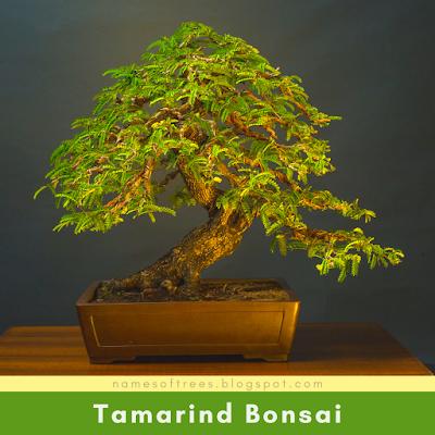 Tamarind Bonsai