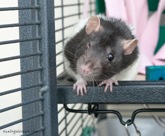 fancy rat cage bedding
