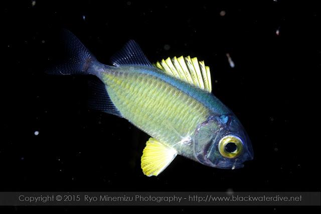 アカマツカサ属の稚魚