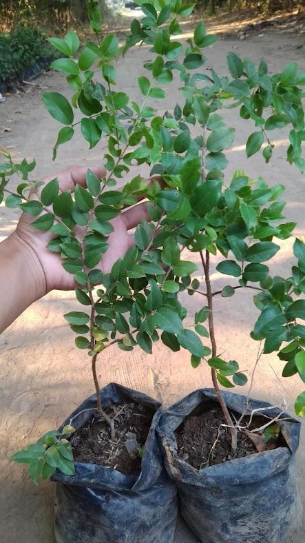Bibit Tanaman Buah Anggur Brazil Bibit Pohon Anggur Brazil Murah