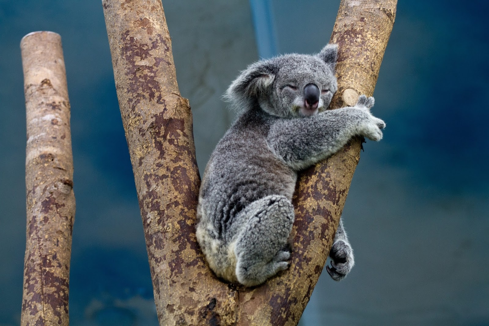 A koala sleeping on branches of a tree.