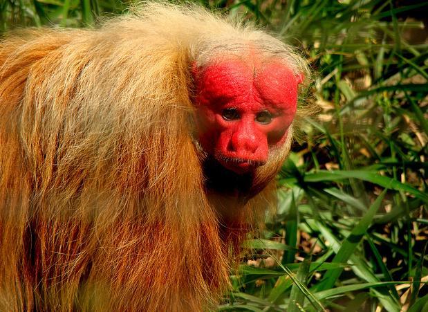 Eles habitam as florestas de terra firme e de várzea do norte da Amazônia. Os machos atingem a maturidade sexual por volta dos 66 meses e as fêmeas aos 43 meses.Outra característica importante é que eles adoram pular de galho em galho como os outros macacos.