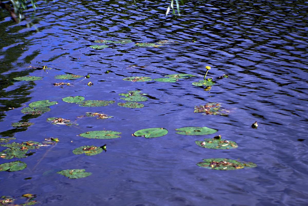 Seerosen in natürlicher Umgebung (1)