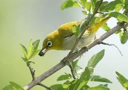 Foto Burung Pleci Daftar Harga Terbaru