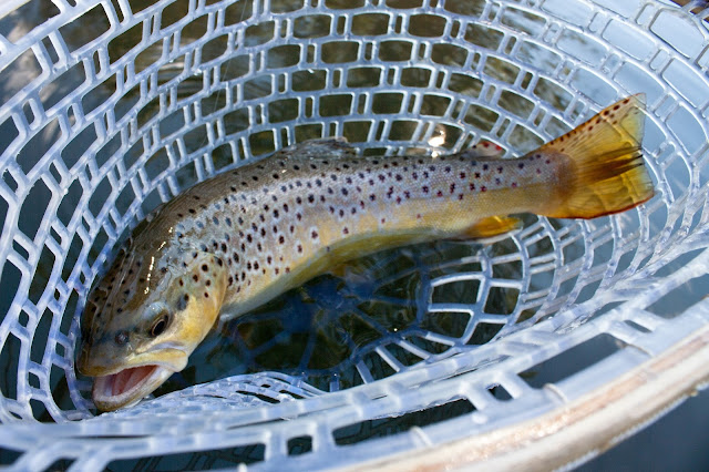 driftless wisconsin brown trout fly fishing