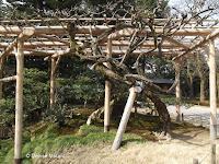 Treillised vine - Kenroku-en Garden, Kanazawa, Japan