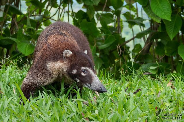 Nasua narica - White-nosed Coati