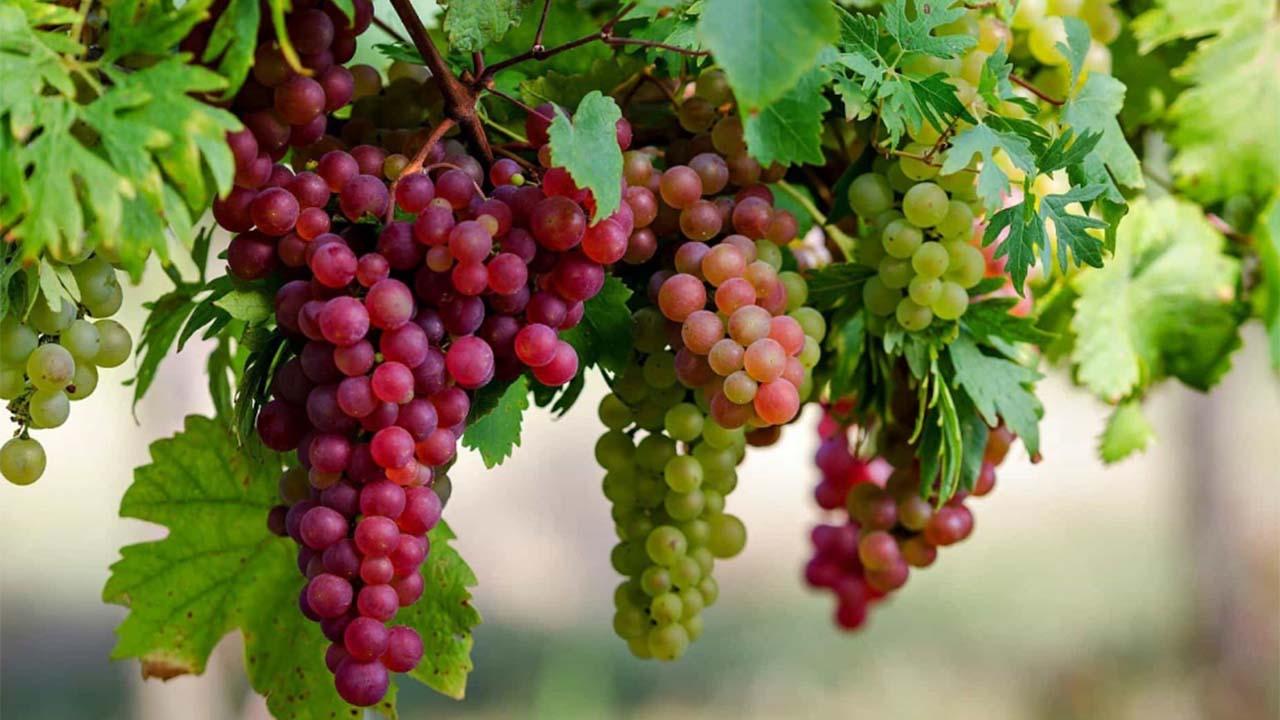 Manfaat Anggur Merah Bagi Kesehatan Tubuh