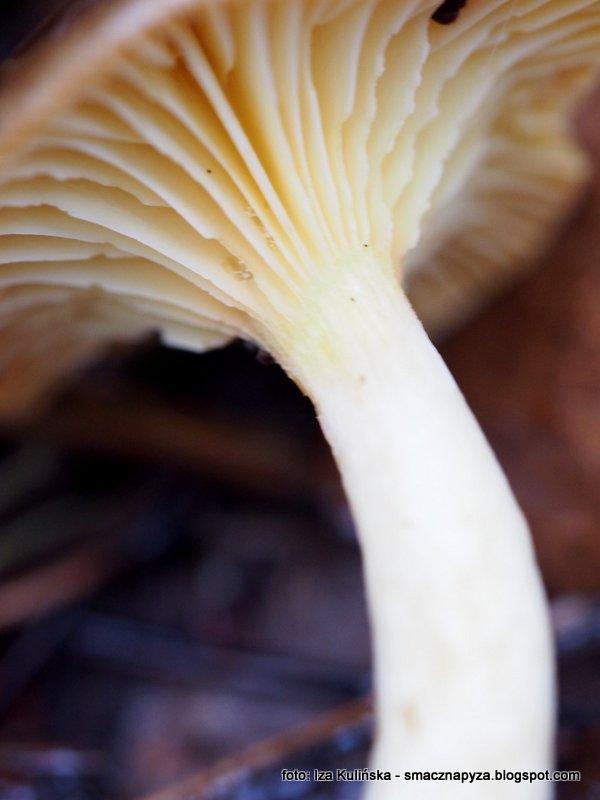 hymenofor, spod kapelusza, grzyby, wodnicha poznojesienna, listopadowka, las, grzybobranie, jasnozolta, blaszka, owocnik