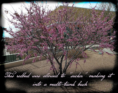 multi trunked redbud tree bush form blooming in 2021