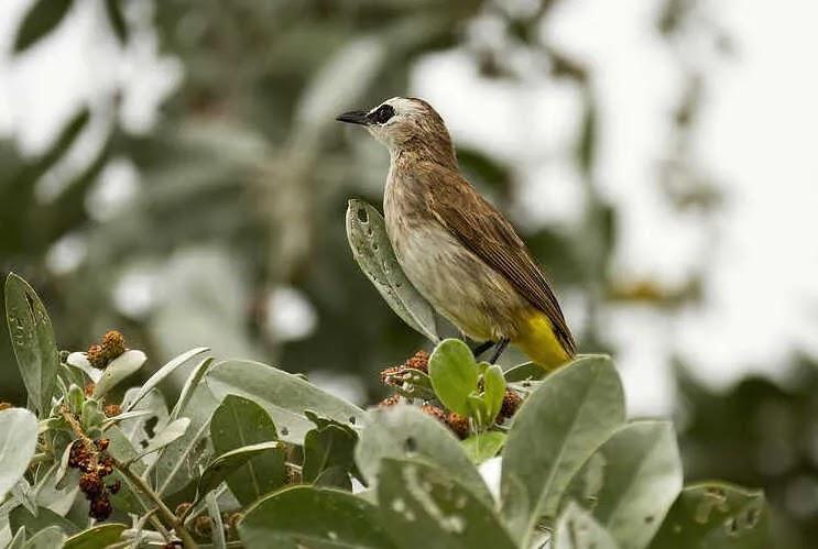 Ciri Fisik Burung Trucuk Betina