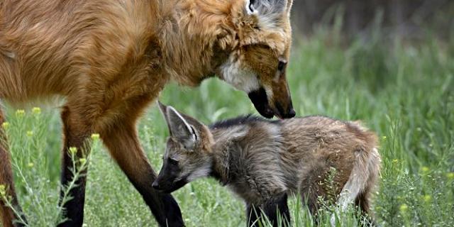 A imagem mostra um lobo-guará fêmea e seu filhote. Eles estão na natureza com uma grama verde em volta, tem flores pequenas e amarelas na vegetação. A lobo adulta tem pêlos avermelhados, patas pretas, branco na garganta e boca preta. O filhote ainda é acinzentado e já tem a boca preta.