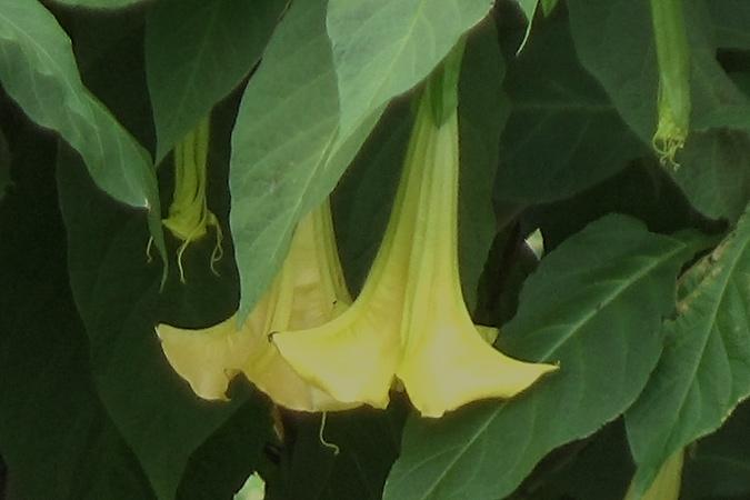 Dlium Night bells (Brugmansia suaveolens)