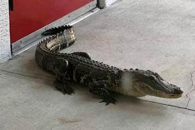 Alligator visits fire station in Florida