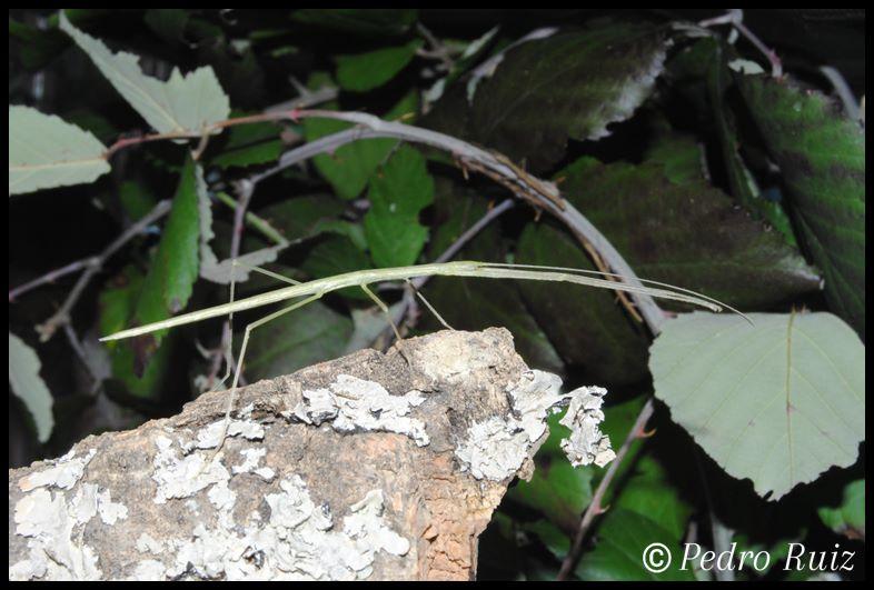 Ninfa L3 de Sipyloidea sipylus, 4,2 cm de longitud